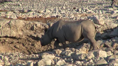 Rhino or Rhinoceros Drinkin at a Waterhole in Etosha National Park, Namibia, Africa in a Dry, Arid and Stony Landscape