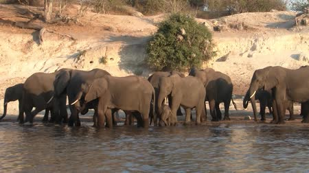 Elephant Herd on the Bank of River Chobe in the Evening, Chobe National Park, Botswana, Africa