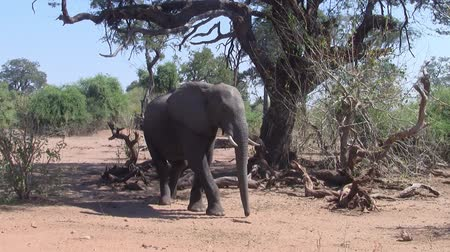 marfim : African Elephant Walking in the Bush, Chobe National Park, Botswana