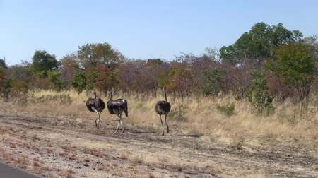 pštros : Three Ostriches Walking at the Roadside in Botswana, Africa, Tracking Shot