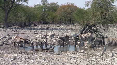 býložravý : Herd of Zebra at a Waterhole in Etosha National Park with a Stony LAndscape and Green Trees, Namibia, Africa