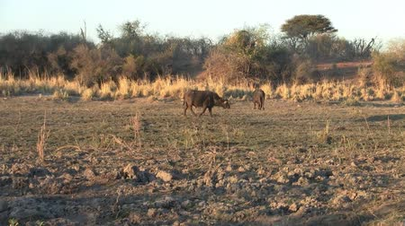 savanna : Cape Buffalo Walking at the Riverside of the Okavango River in Namibia