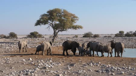 plain : Elephant Herd at Okaukuejo Waterhole in Etosha National Park, Namibia, Africa, Arid Landscape with Tree Stock Footage