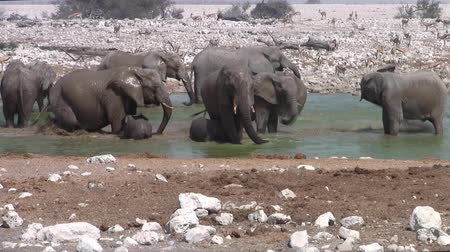 namibya : Elephant Herd Bathing, Playing and Squirting Water at Okaukuejo Waterhole, Etosha National Park, Namibia, Africa Stok Video