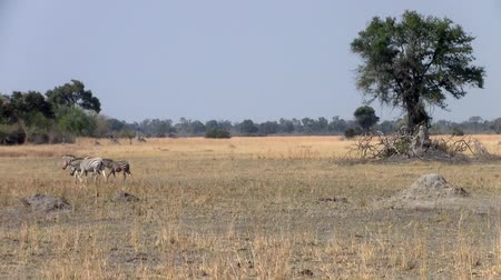 Dry Savanna Landscape with Tree and Zebras in Makgadikgadi National Park, Botswana, Africa
