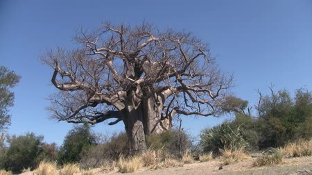 namibya : Mighty Baobab Tree in Dry Season the Caprivi Strip in Namibia, Africa Stok Video