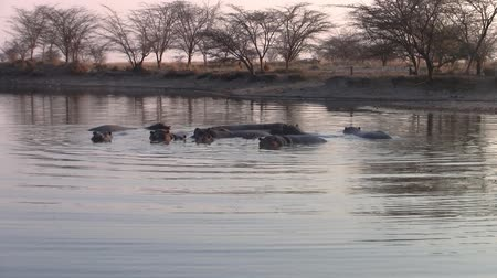 hippos : Group of Hippos in the Water in a Pond, Makgadikgadi National Park, Botswana, Africa