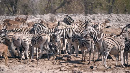 savanna : Large Zebra Herd at a Waterhole in Dry Season in Etosha National Park, Namibia, Africa