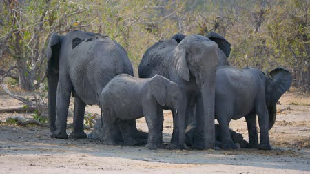 пять : Elephant Breeding Herd in the Shade of a Tree in Moremi Game Reserve, Okavango Delta, Botswana, Africa