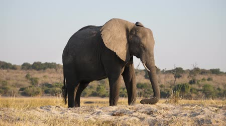 np : Male Elephant with Tusks in Chobe NP Grazing