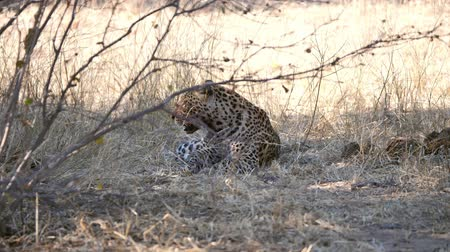 pardus predator : Leopard with Bloody Snout Lying on the Ground, Licking himself,in Chobe National Park, Botswana Stock Footage