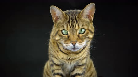 Бенгалия : 4K Bengal Cat on Black Background Looking at the Camera Стоковые видеозаписи