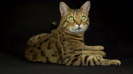 Бенгалия : 4K Bengal Cat Lying Down on Black Background