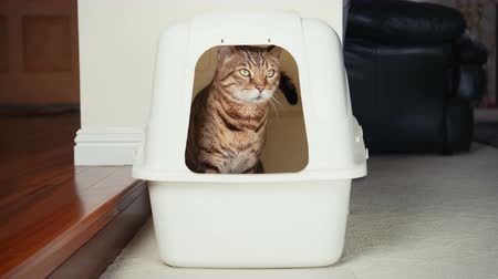 greater : High-Speed 4K Video of Bengal Cat Using Litter Box.