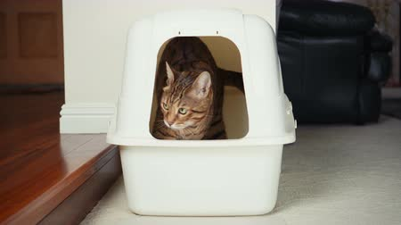 greater : 4K Cat Using Litter Box. Close-up view of Bengal cat digging inside an enclosed litter box and going out of it. 30 seconds. Stock Footage