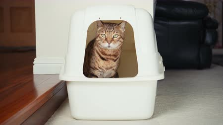 greater : 4K Cat Using Litter Box. Close-up view of Bengal cat urinating inside an enclosed litter box.
