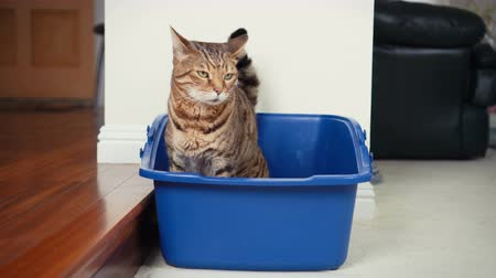 greater : 4K Cat Using Litter Box. Close-up view of Bengal cat inside open top litter box.