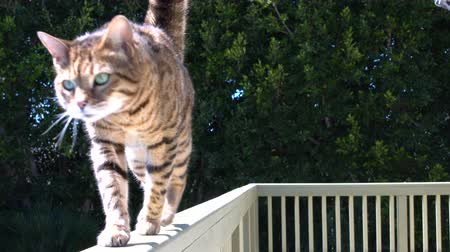 4K Bengal cat walking on the balcony railing