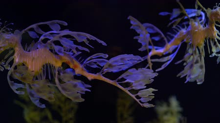temas animais : 4K Leafy Sea Dragon Seahorse Swimming