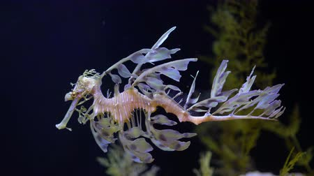 4K Leafy Sea Dragon Seahorse Swimming