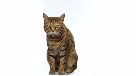 Бенгалия : Bengal cat sitting on white background