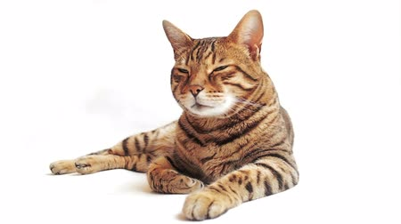 HD Bengal cat lying down on the white background looking around