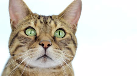 Close-up portrait of Bengal cat on white background Wideo