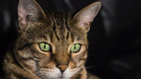 Close-up portrait of a Bengal cat at night