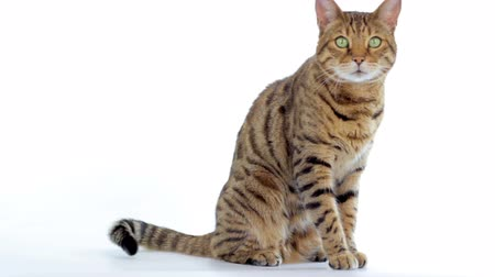 kotki : Animal Cinemagraph (photo in Motion) of a Bengal Cat wagging its tail