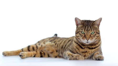 Bengal cat lying down on white background looking around Wideo