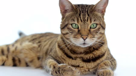 Бенгалия : Bengal cat lying down on white background looking around Стоковые видеозаписи