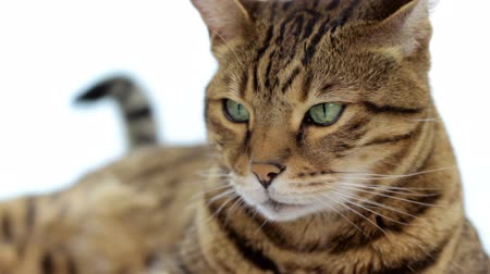looking down : Close-up portrait of Bengal cat on white background Stock Footage