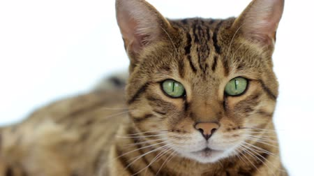 Бенгалия : Close-up portrait of Bengal cat on white background Стоковые видеозаписи