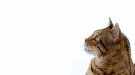 bengal cat : Animal Cinemagraph (photo in Motion) of a Cat licking its mouth. Seamless loop. Stock Footage