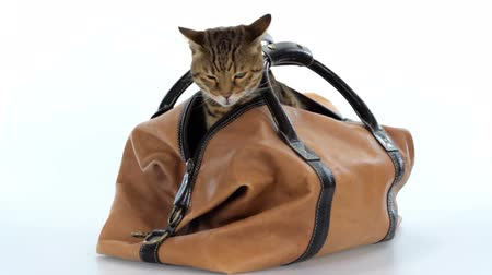 Bengal cat getting out of a travel bag