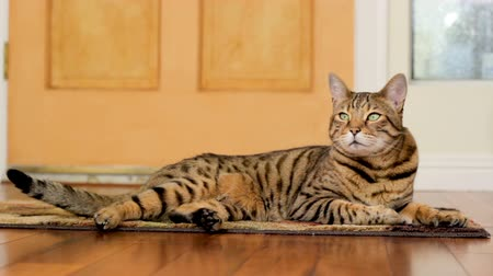 Relaxed Cat Cinemagraph (photo in Motion). Bengal cat lying on the floor wagging his tail and closing his eyes.