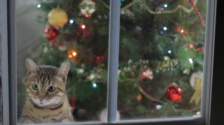 Cat peeking out in the window with Christmas Tree on the background Wideo