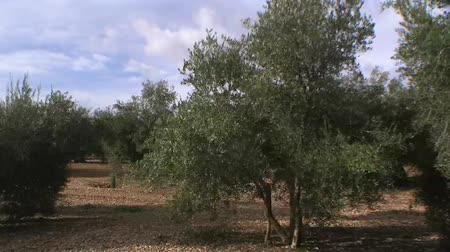 ramos : Travelling or moving camera from a crop of olive trees near jaen, Andalusia, Spain