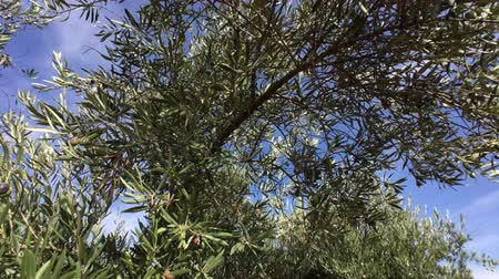 olivový olej : Olive trees plantation. The camera moves slowly between the olive trees, Jaen, Spain