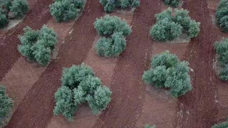andalusie : Air view field of olive trees near Jaen, Spain