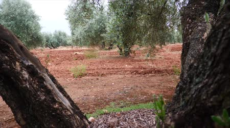 dilis : Olive trees plantation. The camera moves slowly between the olive trees, Jaen, Spain