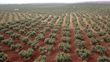 oliva : Air view field of olive trees near Jaen, Spain