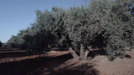 andalusie : Field of Olive trees near Jaen, soft camera movement in 4k