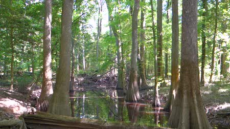 klidný : cypress forest and swamp of Congaree National Park in South Carolina