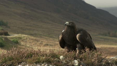 escocia : Golden Eagle