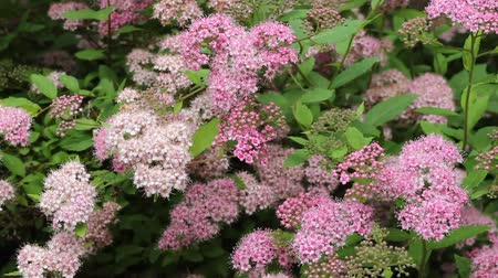 spirea bushes in full bloom