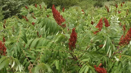 colony of sumac shrubs Wideo