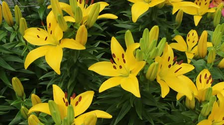 several yellow day lillys in a small flower garden Wideo