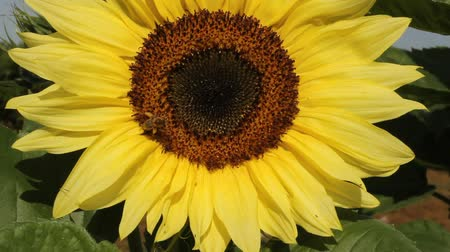 bee on a large sunflower