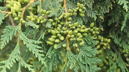 closeup of several cedar boughs